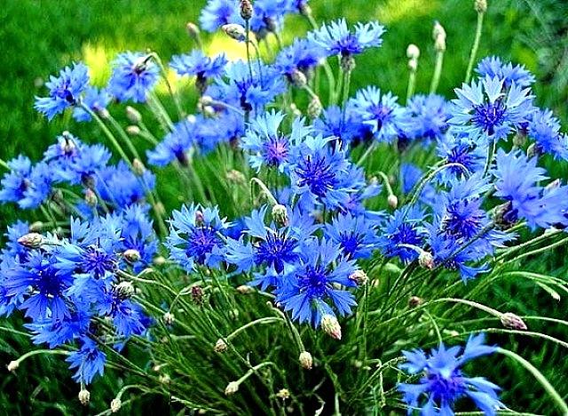 Волошка синя – Фактосвіт